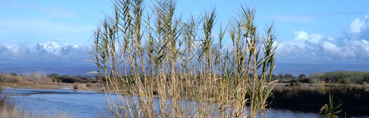 Giant Reed (Photo: John M. Randall, The Nature Conservancy, Bugwood.org)
