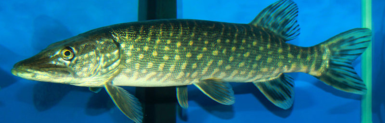 Northern Pike (Photo: Wikipedia)