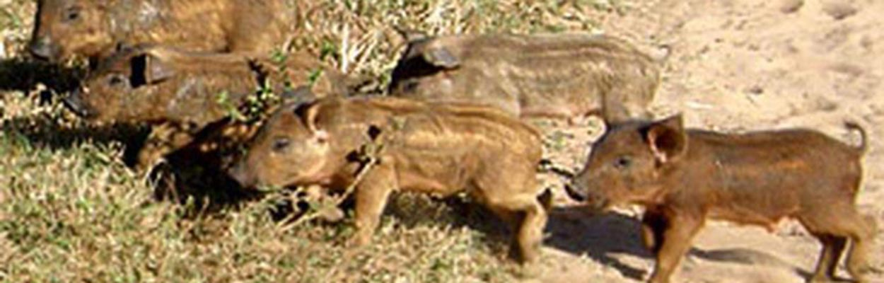 Feral Pig (Photo: Vladimir Dinets, Univ of Miami; Bugwood.org)