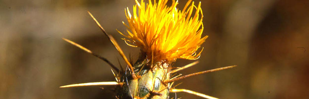 Yellow Starthistle (Photo: CDFA Weed Database)