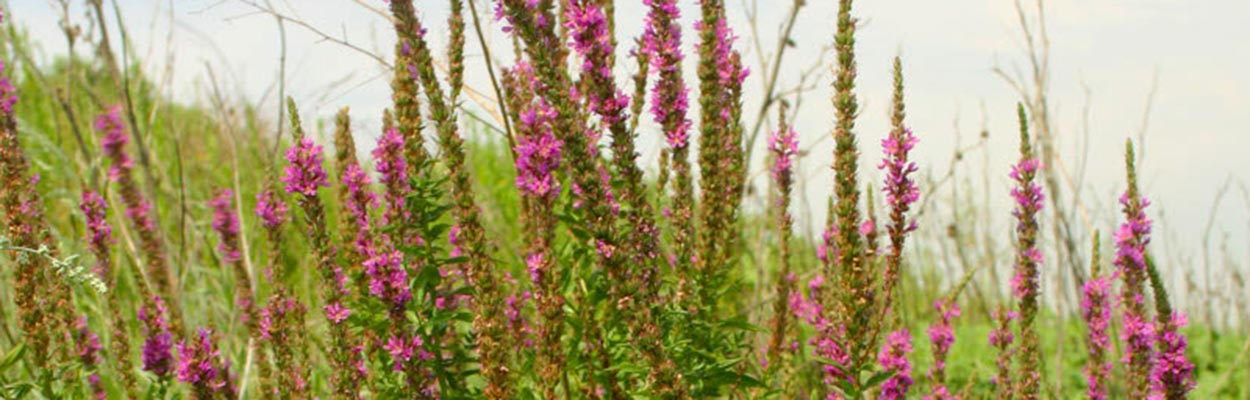 Purple Loosestrife (Photo: David Kratville, CDFA)