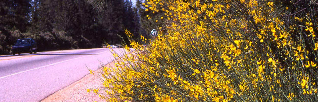 Scotch Broom (Photo: CDFA Weed Database)