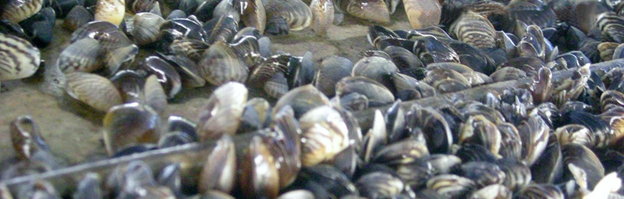 Quagga Mussel (Photo: CA Department of Fish and Game)