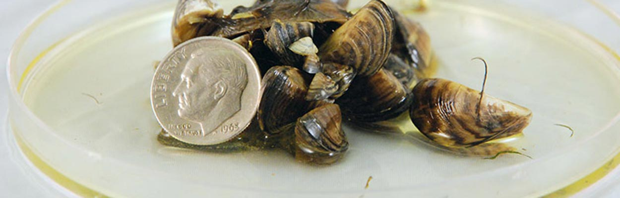 Zebra Mussels (Photo: CA Department of Fish and Game)